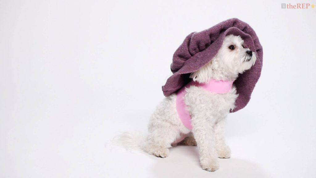 Dog Auditions for Shakespeare in Love - Capital Repertory Theatre
